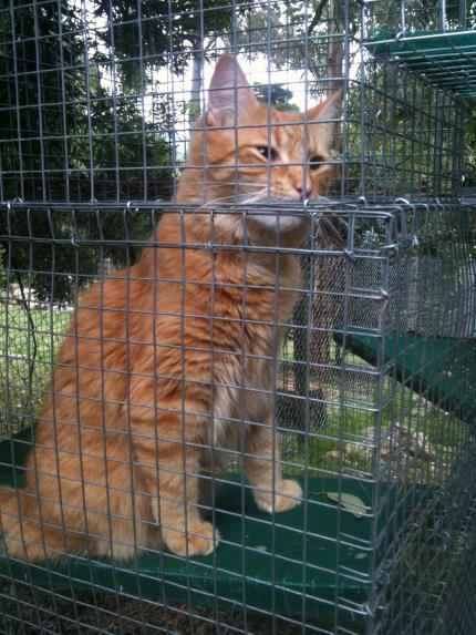 large ginger cat in cage